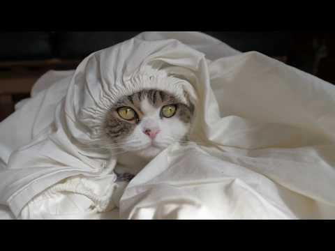 シーツとねこ。-The fitted sheet and Maru.-