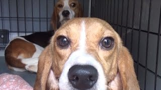 Beagles Step On Grass For First Time After Being Freed From Lab Testing