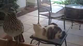 Ухаживание  кошка и птица