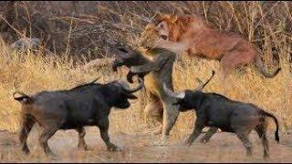 虎の驚くべき狩り能力 - ライオンvsトラ途方もない戦闘力の戦い!Lion v...