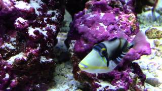 Video My Picasso Trigger Fish download MP3, 3GP, MP4, WEBM, AVI, FLV September 2017