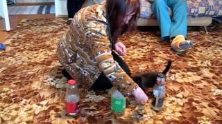 Дрессировка кота (Северус и бутылки)