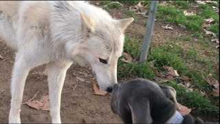 Giant Wolfdogs Explore a Dog Park