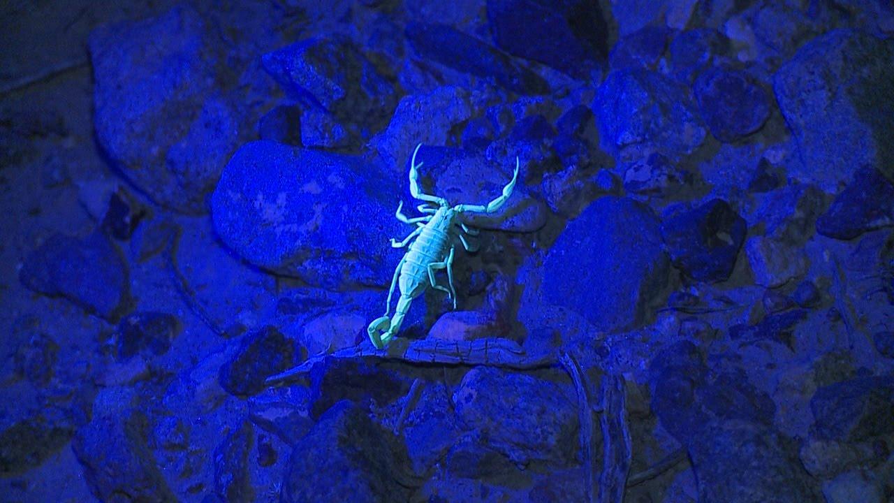 Arizona Bark Scorpion | Creatures of the Night