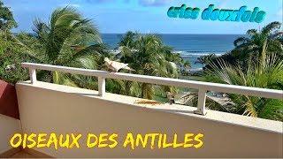 Oiseaux des îles ; Quiscale merle ; Pèrenoir rougegorge ; Tourterelle à Queue Carrée ; Guadeloupe