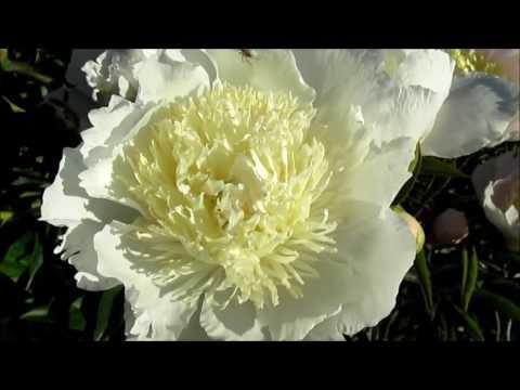 Бу Те пион с японской формой цветка