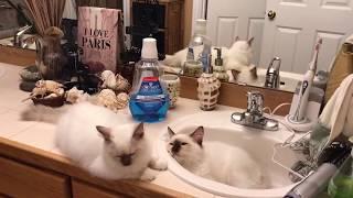 Ragdoll kittens - Котята уснули в раковине - нашли тихое место во время ремонта  -