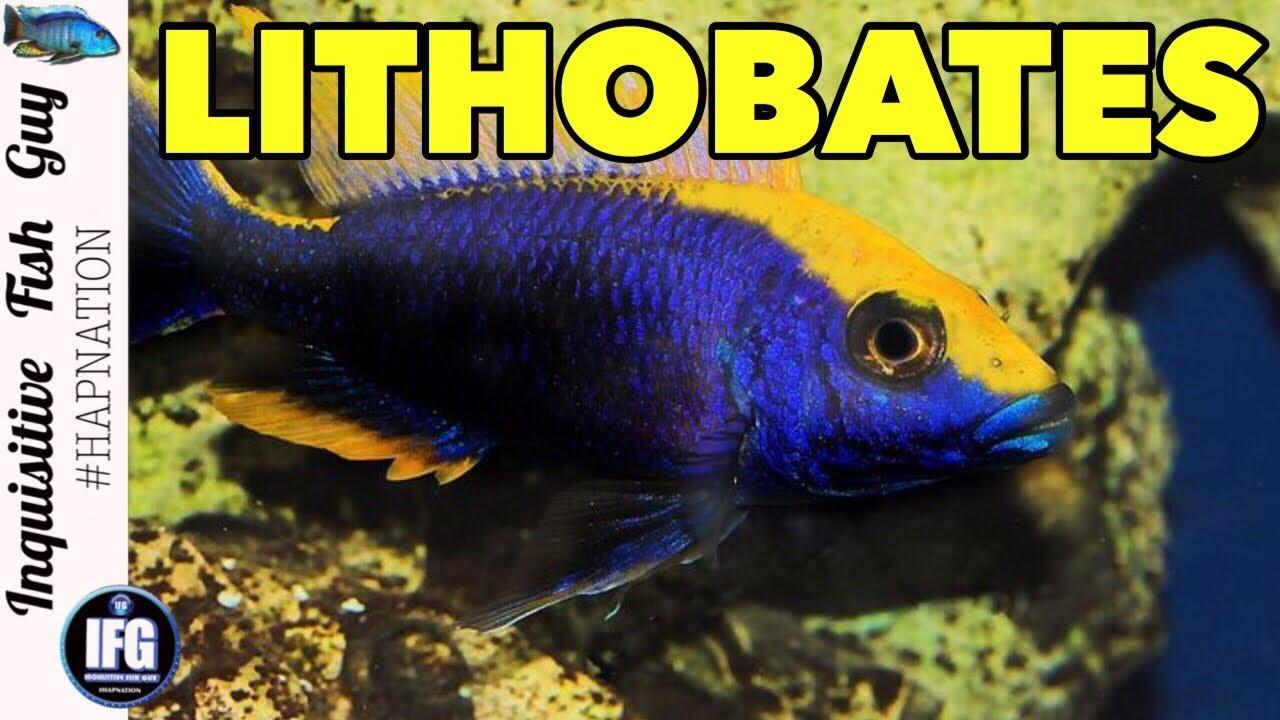 African cichlid species profile otopharynx lithobates zimbawe rock