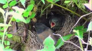 Baby Birds Leave The Nest Day 8