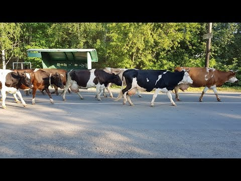 Стадо коров возвращается в село