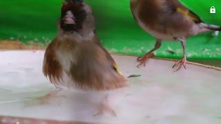 هل نقدم ماء الاستحمام للطيور في فصل الشتاء