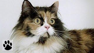 Породы кошек - Манчкин. [Munchkin (Cat Breed)]