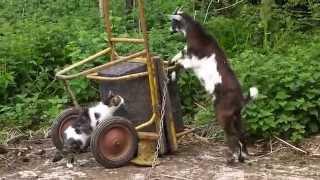 Lebeaugosse, chevreau de la race Chèvre des fossés, rencontre Phoebe 4 mai 2015