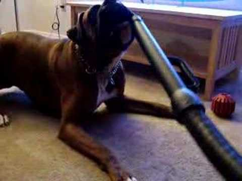 Image result for boxer dog, vacuum more dog hair