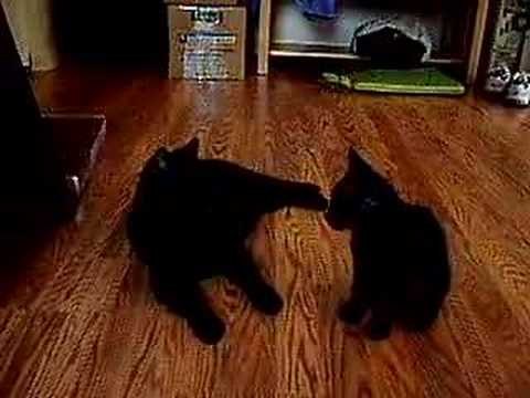 Manx Cats playing