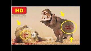 лев против бегемота