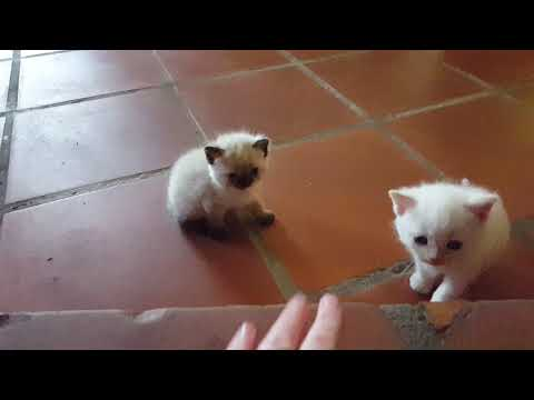 Kittens Persian Siamese Mix Haku Learns to Climb the Step!