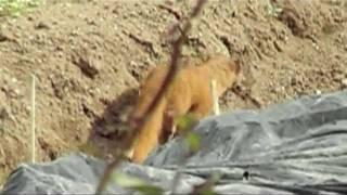 Siberian Weasel, Mustela sibirica coreana, チョウセンイタチ