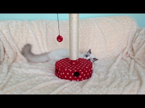 Cute kitten having fun with his scratching post - Jeremy The Ragdoll Cat