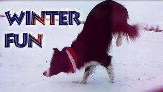 Winter Fun With Nana The Border Collie
