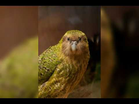 Rare Kakapo parrot fighting for Survival
