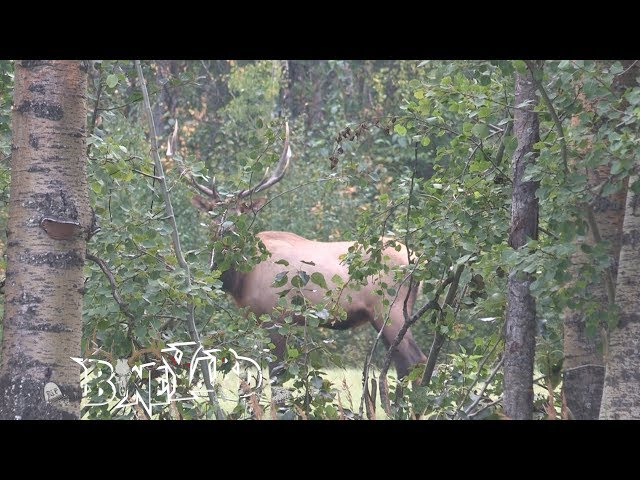 Alberta Elk  calling in September