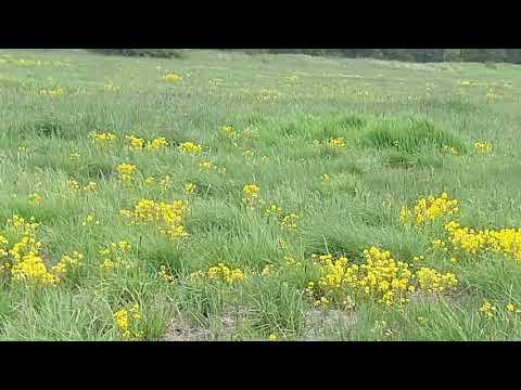 Жёлтые цветы Камчатских полей👁👁