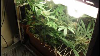 Stealth Pc Grow Box Barney's Farm Blue Cheese Marijuana Cannabis From Seedling To Harvest