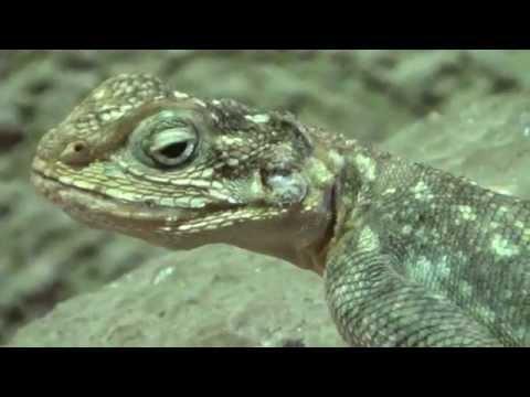 Kenyan Rock Agama (Agama lionotus dodomae) Prague Zoo חרדון סלעים קנייתי