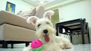 White Miniature Schnauzer - 'lala' Training And Playing