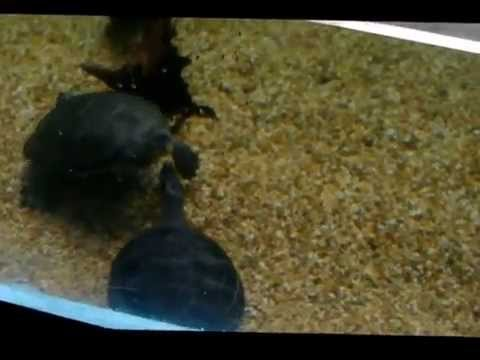 Zoo: Yellow-spotted River Turtles (Amazonian Turtles)