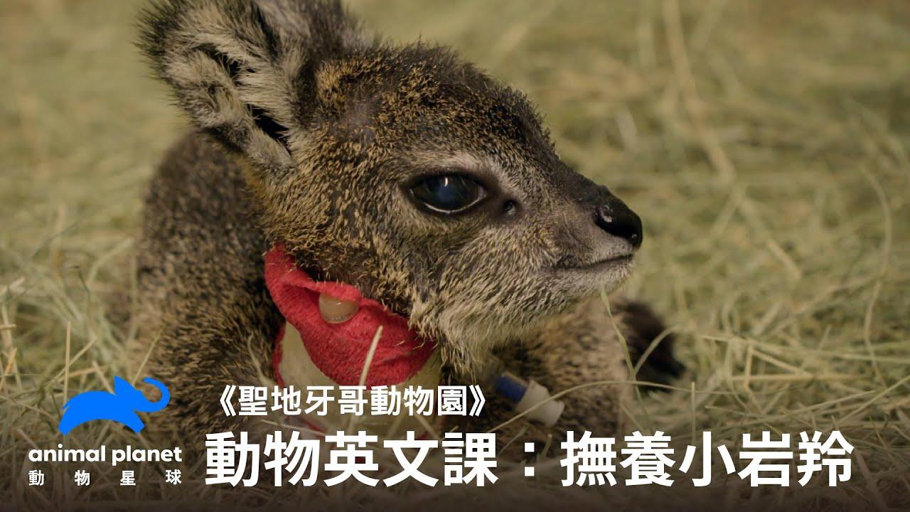 【中英雙字幕】動物線上英文課:幫助岩羚小寶寶長大|動物星球頻道