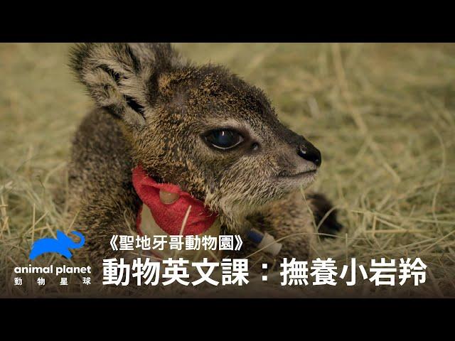 【中英雙字幕】動物線上英文課:幫助岩羚小寶寶長大 動物星球頻道