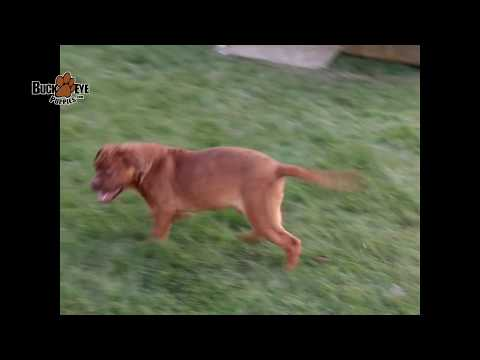 Dogue de Bordeaux French Mastiff Puppies