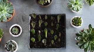How to Propagate Succulents- Martha Stewart