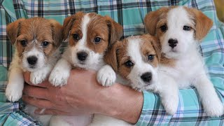 Puppies 6 weeks / funny dog jack russell terrier puppies