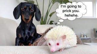 this-is-milky-hedgehog-dachshund