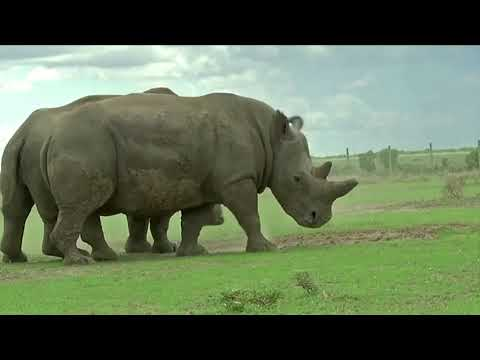 One of the two last white rhinos pulled from breeding