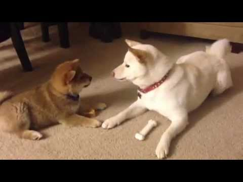 Shiba puppy and sister arguing over a bone - Part Two