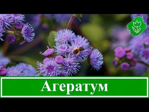 Цветок агератум – уход и посадка, выращивание из семян