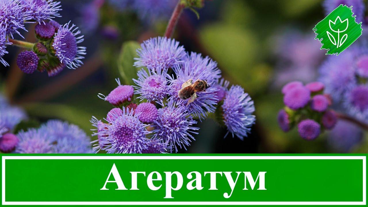 Цветы агератума посадка и уход фото