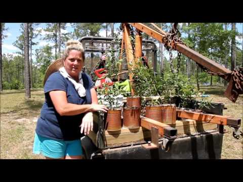 Live Oaks from scratch on the homestead