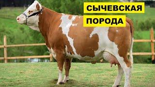 Разведение Сычевской породы коров как бизнес идея   КРС   Сычевская корова