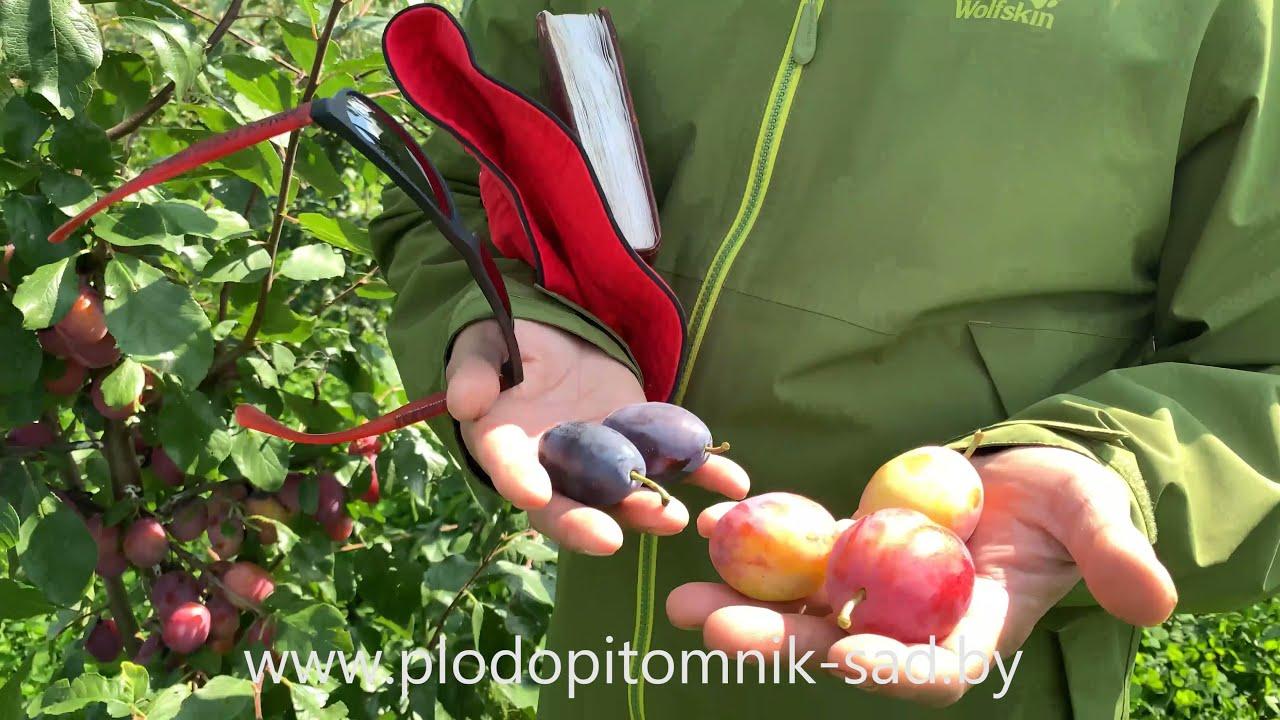 Слива ФАВОРИТО ДЕЛЬ СУЛТАНО. Очень урожайный и скороплодный сорт с яркими розовыми плодами.