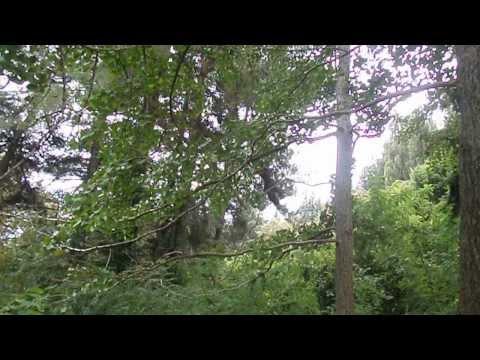 Гинкго: выращивание, размножение, использование