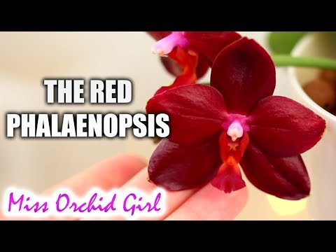 Phalaenopsis Sogo Grape the red Orchid! + more on novelty hybrids