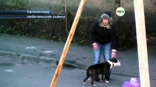 Жители Калининграда спасли дворнягу от бойцовской собаки