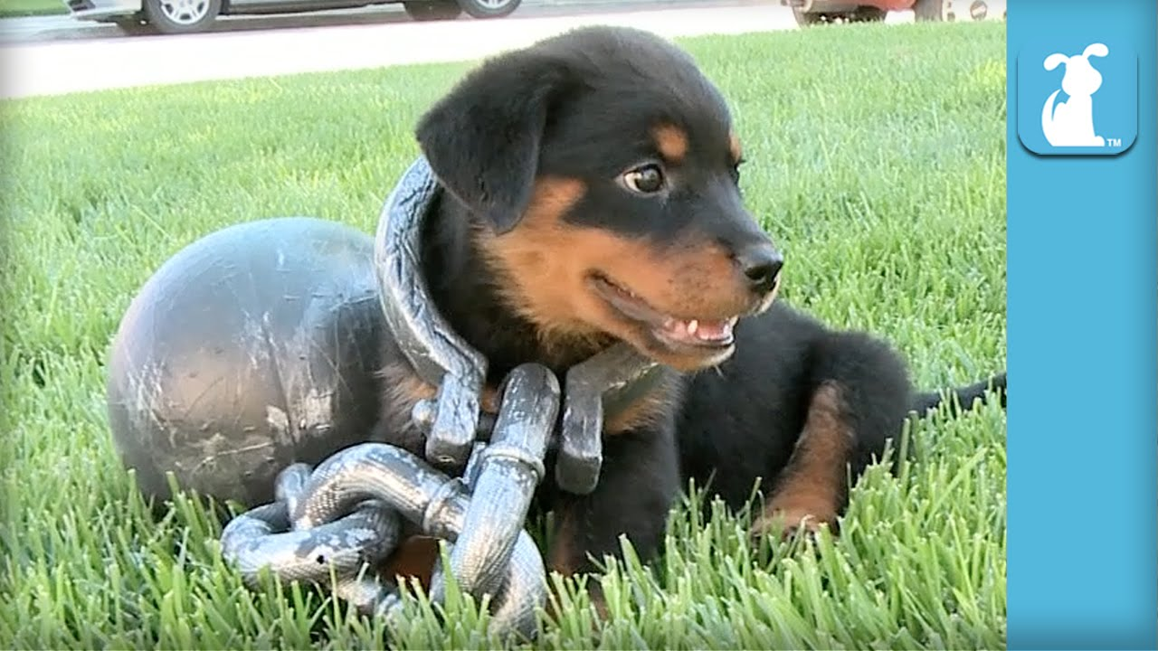 Rottweiler Puppy Gets Ball Chain Love