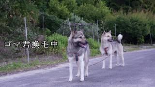 暑い日が続き、野犬達とご無沙汰でしたので彼らのねぐら方面への散歩で...