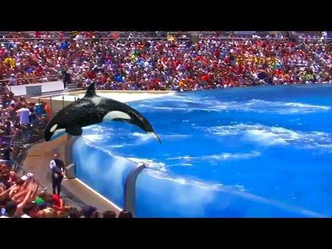 Ein Orca sprang
